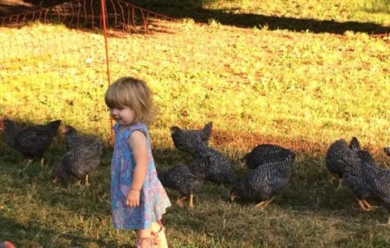 cora chickens